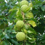 Маклюра яблоконосная
