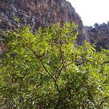 Сумах уксусное дерево
