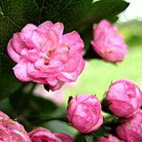 Боярышник розовоцветный