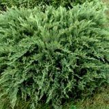Можжевельник Tamariscifolia казацкий