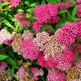 Спирея Бумальда розовая